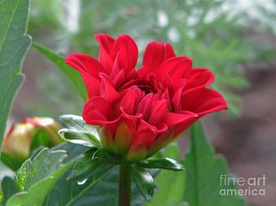 Photograph - Red Dahlia by Judyann Matthews