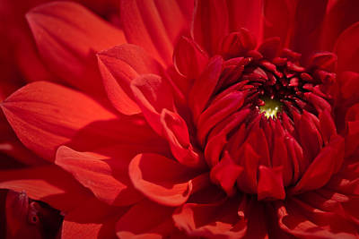 Photograph - Red Dahlia by  Onyonet  Photo Studios