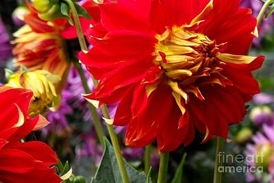 Nirvana - Red Dahlia by Phil Huettner