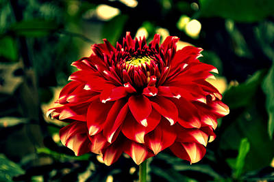 Red Dahlia Art Print by Salman Ravish