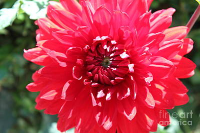 Photograph - Red Dahlia by Sheri Dean
