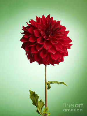 Avant Garde Photograph - Red Dahlia by Tony Cordoza