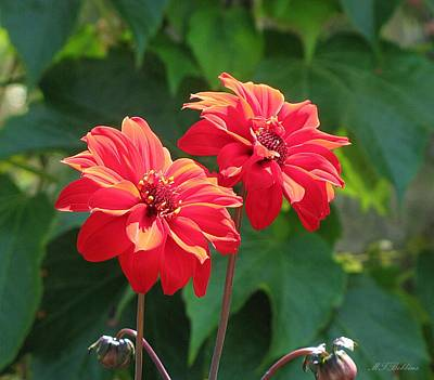 Photograph - Red Dahlias by MTBobbins Photography
