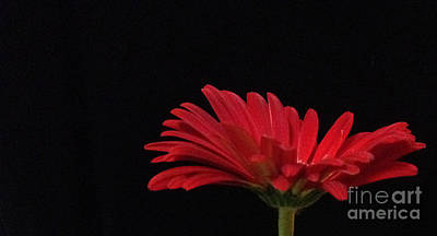 Photograph - Red Daisy 1 by Kristi Kruse