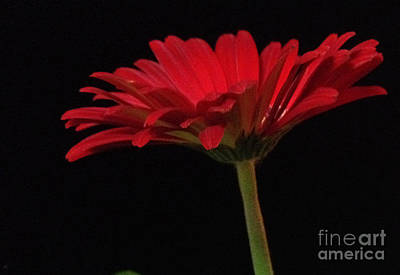 Photograph - Red Daisy 2 by Kristi Kruse