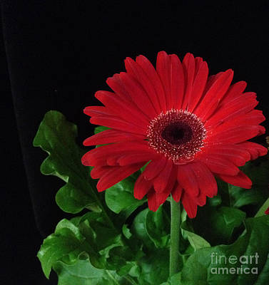 Photograph - Red Daisy 3 by Kristi Kruse