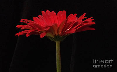 Photograph - Red Daisy 4 by Kristi Kruse