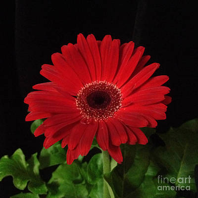 Digital Art - Red Daisy 5 by Kristi Kruse