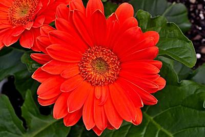Photograph - Red Daisy by Michael Sokalski