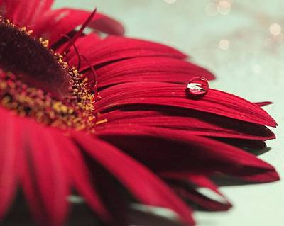 Photograph - Red Daisy by Angela Murdock