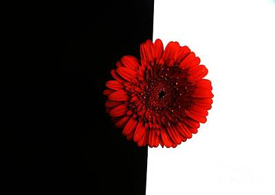 Gerber Daisy Photograph - Red Daisy On Black And White by Marsha Heiken