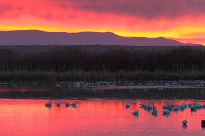 Photograph - Red Dawn Illuminates Geese At Bosque Del Apache Wildlife Refuge by Alan Vance Ley