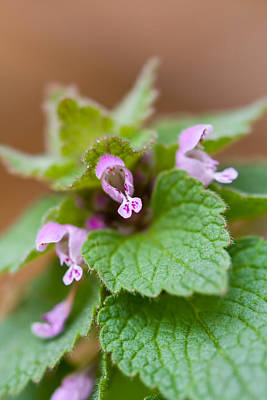 Photograph - Red Deadnettle by Melinda Fawver