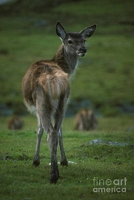 Photograph - Red Deer Calf In October by Phil Banks