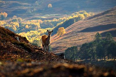 Photograph - Red Deer Calf by Macrae Images