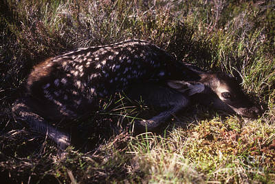 Photograph - Red Deer Calf - Newly Born by Phil Banks