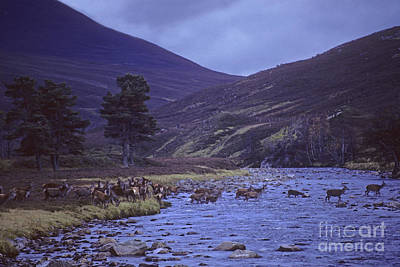 Photograph - Red Deer Crossing A Highland River At Dusk by Phil Banks