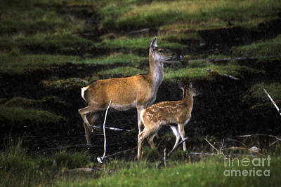 Photograph - Red Deer Hind And Calf by Phil Banks