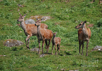 Photograph - Red Deer Hinds -  Alert by Phil Banks
