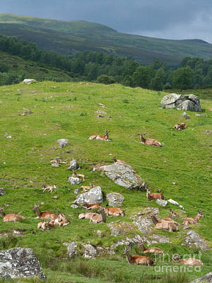Photograph - Red Deer Hinds And Calves - June Afternoon by Phil Banks
