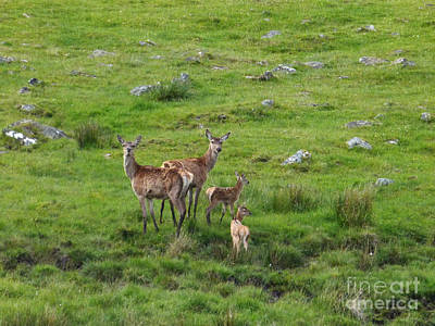 Photograph - Red Deer Hinds With Calves by Phil Banks