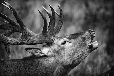 Photograph - Red Deer I by Stefan Nielsen