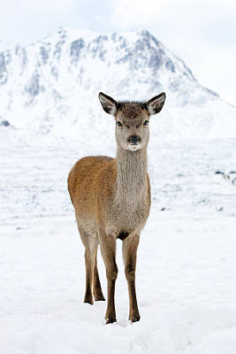 Photograph - Red Deer In Snow by Grant Glendinning