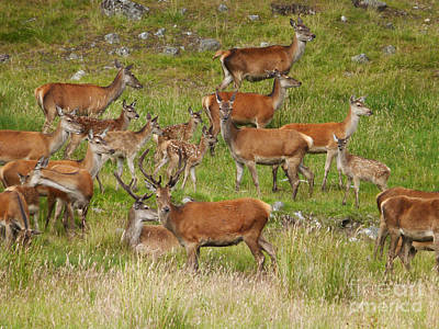 Photograph - Red Deer In Summer by Phil Banks
