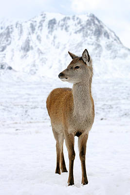 Photograph - Red Deer Portrait by Grant Glendinning