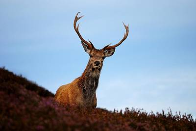 Photograph - Red Deer Stag by Macrae Images