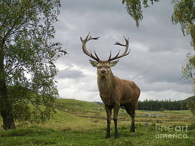Photograph - Red Deer Stag by Phil Banks