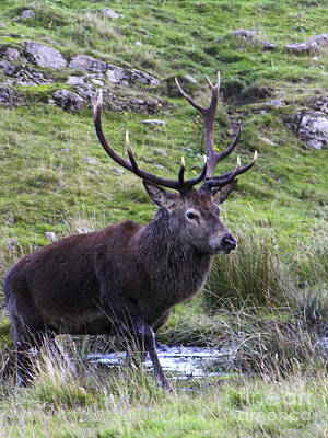 Photograph - Red Deer Stag Wallow by Phil Banks