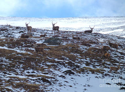 Photograph - Red Deer Stags - Hill Snow by Phil Banks