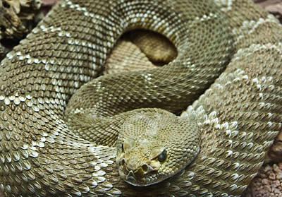 Photograph - Red Diamond Rattlesnake 3 by Douglas Barnett