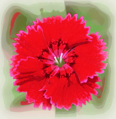 Photograph - Red Dianthus Barbatus 1 by Sheri McLeroy
