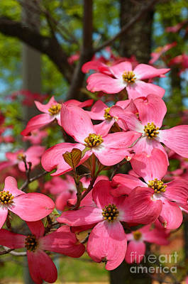 Digital Art - Red Dogwood Tree Flower by Eva Kaufman