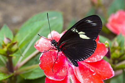Photograph - Red Doris Longwing Butterfly by Jack R Perry