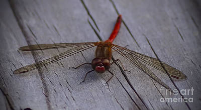 Photograph - Red Dragonfly 10.14 by Kathryn Strick