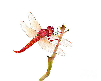 Painting - Red Dragonfly by Amy Kirkpatrick