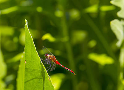 Sports Royalty-Free and Rights-Managed Images - Red Dragonfly by David Tennis