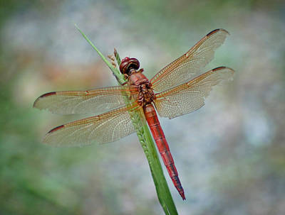 Art Print featuring the photograph Red Dragonfly by Linda Brown