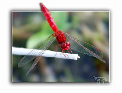 Photograph - Red Dragonfly by Mariarosa Rockefeller