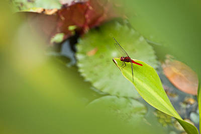Photograph - Red Dragonfly by U Schade