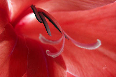 Gladiola. Red Gladiola Photograph - Red Dream - Gladiolus by Ben and Raisa Gertsberg