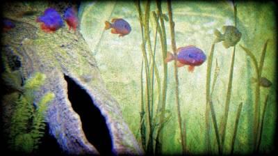 Bluegill Digital Art - Red Eared Bluegills by Rosemarie E Seppala