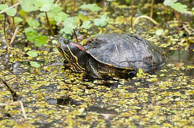 Slider Photograph - Red-eared Pond Slider by William H. Mullins