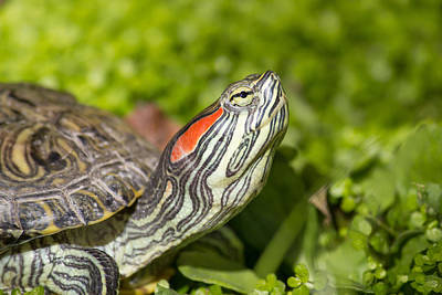 Photograph - Red Eared Slider - Trachemys Scripta Elegans by Brch Photography