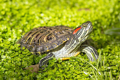 Photograph - Red Eared Slider - Trachemys Scripta Elegans Turtle  by Brch Photography