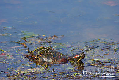 Photograph - Red-eared Slider 20120419_205a by Tina Hopkins