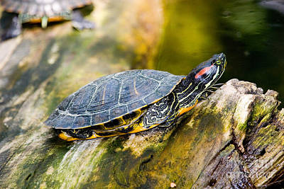 Pond Slider Photograph - Red-eared Slider Trachemys Scripta by Gregory G. Dimijian